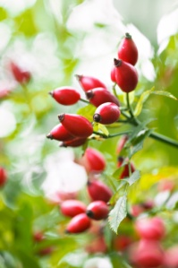 Close-up of Rose Hips from Dog Rose (Rosa canina)